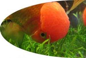 goldfish eat aquarium plant