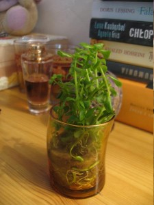 Bacopa amplexicaulis in glass