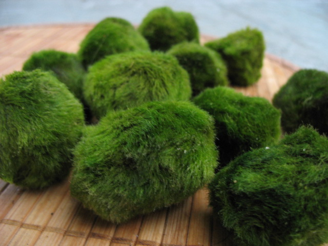 how to make aquarium moss balls