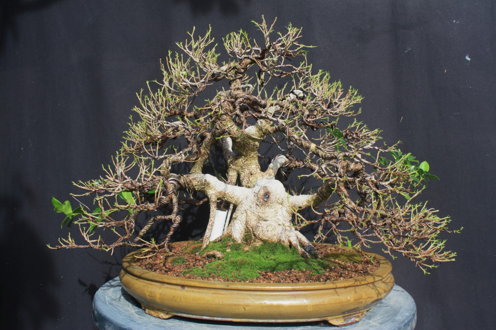 ficus microcarpa ginseng indoor bonsai tree cutting 1x ebay. Black Bedroom Furniture Sets. Home Design Ideas