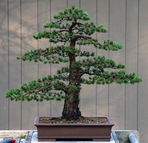 pinus silvestris scots pine outdoor bonsai tree 30 seeds. Black Bedroom Furniture Sets. Home Design Ideas