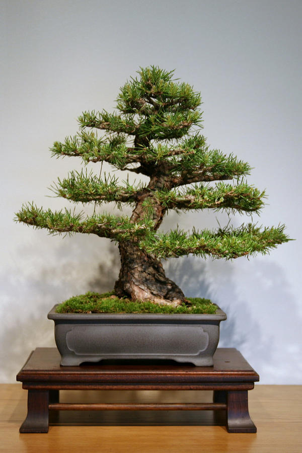 scots pine pinus sylvestris bonsai tree seeds outdoor. Black Bedroom Furniture Sets. Home Design Ideas