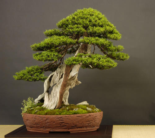 Backyard Bonsai Trees : Details about Japanese Larch Larix kaempferi outdoor bonsai tree seeds