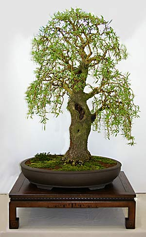 mimose kaufen bonsai mimosa tree garden projects. Black Bedroom Furniture Sets. Home Design Ideas