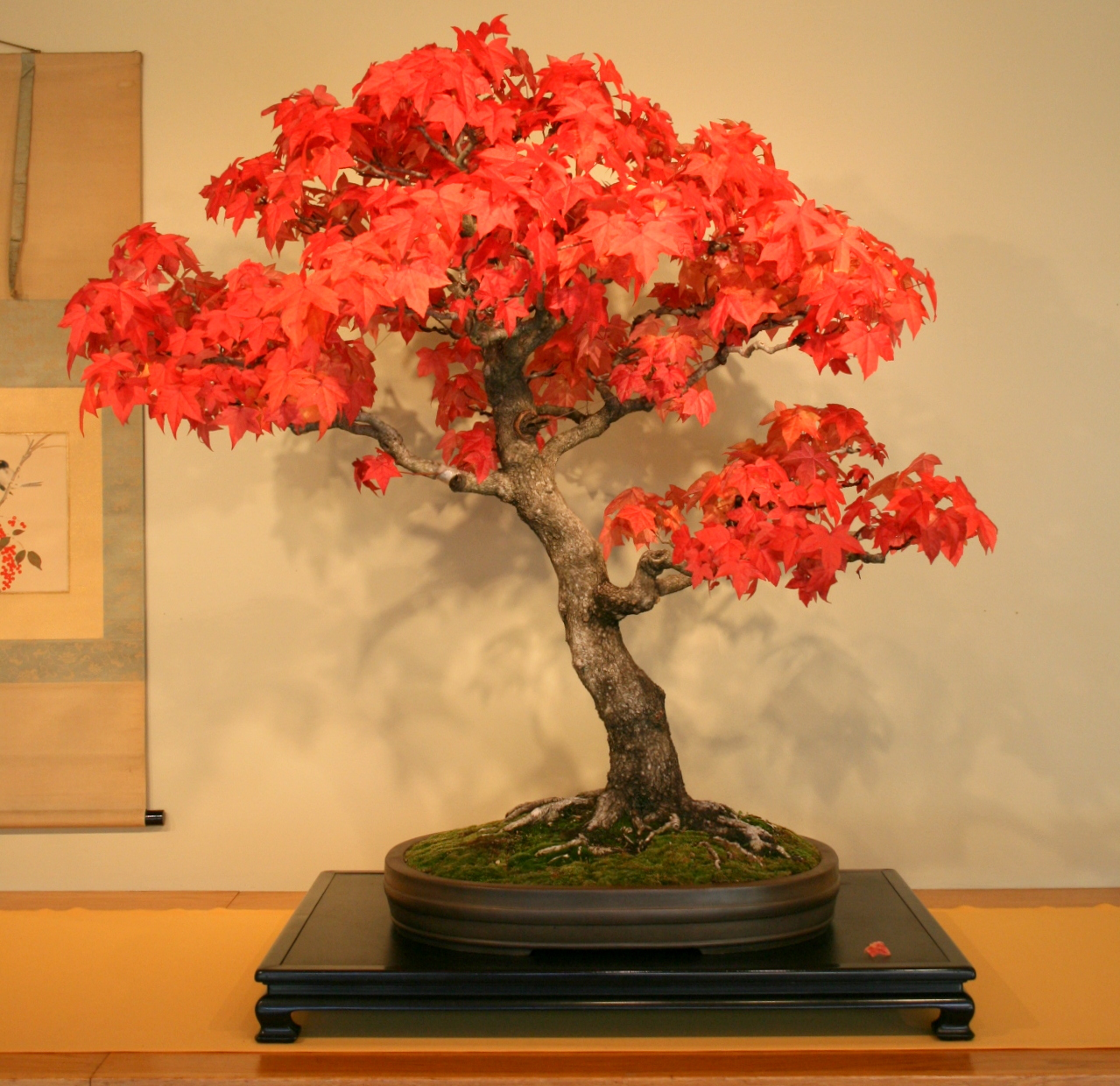 red maple acer rubrum bonsai trees seeds not tree juniper